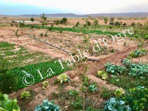 Ile de Ouarzazate Potager